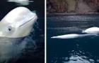 Questi 2 beluga liberati dopo anni di prigionia nuotano in mare per la prima volta: le immagini sono commoventi