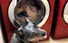 Un cane aspetta 45 minuti di fronte alla lavatrice. Immaginate il perché?