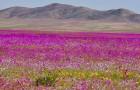Uno dei deserti più aridi del mondo torna a colorarsi dopo tre anni con oltre 200 specie floreali