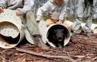 26 diables de Tasmanie ont été libérés en Australie : la première fois depuis au moins 3000 ans sur le continent