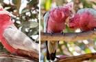 Le Cacatoès rosalbin est l'un des perroquets les plus sympathiques et intelligents, même si son nom signifie