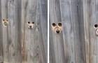 La proprietaria crea dei buchi nella staccionata in modo che i suoi due cani possano scrutare i passanti