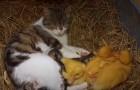 Um gato acolhe 3 patinhos sem mãe na sua ninhada