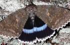 Una falena dalle dimensioni gigantesche è stata scoperta nei dintorni di Chernobyl: in volo sembra un uccello