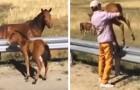 Un uomo salva un puledro che si era perso in autostrada e che non riusciva più a raggiungere la mamma