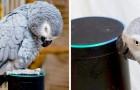 Ein Papagei ahmt die menschliche Stimme perfekt nach und schafft es, sein Lieblingsessen bei Alexa zu bestellen...