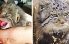 Ein Landwirt findet 4 Kätzchen im Stall, stellt dann aber fest, dass es sich um seltene Exemplare von Wildkatzen handelt