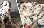 Deze Dalmatiër is bevallen van 18 puppy's: de foto's doen denken aan