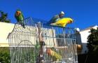 Questi pappagalli girano per la città liberando i loro simili dalle gabbie: tre giustizieri furbi e coloratissimi