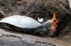 Prachtige afbeeldingen van vlinders die tranen van schildpadden drinken: de fotograaf legt uit waarom ze het doen