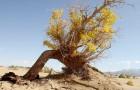 In de Sahara groeien meer bomen dan verwacht: een mogelijk