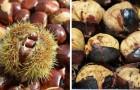 Caldarroste: come cucinare le castagne facilmente in padella o al microonde