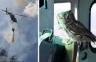 Questo gufo è volato dentro un elicottero e si è messo a fianco del pilota che stava spegnendo un incendio