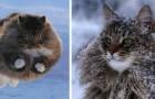 Estes 4 gatões com pelos abundantes e macios não têm problemas em sobreviver ao inverno