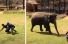 An elephant runs to help the keeper who takes care of her every day when she sees him in trouble