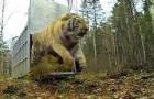 Godetevi il momento emozionante in cui una tigre orfana viene rimessa in libertà