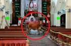 Uma vaca destinada ao abate escapa do matadouro e se esconde na igreja: parece