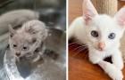 Un chaton est retrouvé recouvert d'huile de moteur : après avoir été lavé, il révèle toute sa beauté
