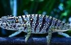 Si credeva estinto, ma questo coloratissimo camaleonte è ricomparso in un giardino dopo oltre 100 anni