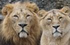 Eine Löwin in einem Zoo begann, eine Mähne wie die männlichen Exemplare zu entwickeln - im Alter von 18 Jahren