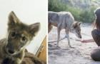 Adotta un cagnolino trovato in strada, ma poi i veterinari gli rivelano che è il cucciolo di un lupo