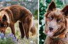 Sembra un lupo ma non lo è: questo raro husky color cioccolato è una vera e propria celebrità