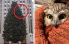 Trovano una civetta nell'albero di Natale del Rockefeller Center: ha fatto un viaggio di 270 km in 2 giorni