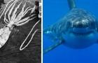 Le cicatrici di alcuni squali bianchi proverebbero che vengono attaccati da calamari giganteschi, secondo gli studiosi