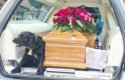 Um cachorrinho sobe no carro fúnebre ao lado do caixão do seu falecido dono e o acompanha na sua última viagem terrena