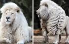 Einem talentierten Fotografen gelang es, einen weißen Löwen in seiner ganzen Pracht einzufangen