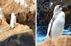 Galapagos: una guida turistica riesce a fotografare un rarissimo pinguino dalle piume bianche