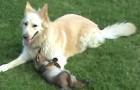Una giovane volpe entra nel giardino: resterete sorpresi dal suo comportamento