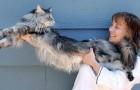Questo gatto dalla lunghezza record è il guardiano preferito dei suoi padroni: non li perde mai di vista