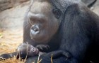 Een 39-jarige gorilla bevalt van een hele lieve welp van bijna drie kilo: feest in de dierentuin waar hij werd geboren
