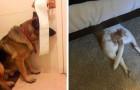 15 fotos engraçadas de cães que achavam que tinham encontrado o esconderijo perfeito