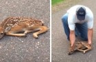 Two men see a paralyzed fawn in the middle of the road: the video of their moving rescue