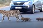 Mamma leopardo aiuta i suoi cuccioli ad attraversare la strada: il video è affascinante