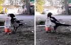 Diese Elster schafft es zu trinken, indem sie ein physikalisches Gesetz ausnutzt: Das Video zeigt ihre geniale Intelligenz