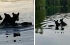 Mamma orsa traghetta i suoi 3 piccoli al di là del fiume: una scena piena di amore catturata da alcuni escursionisti
