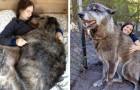 15 foto di cani che non si rendono minimamente conto di essere alquanto ingombranti