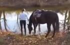 Den här hästen är rädd för vatten, men när han slutligen vågar....en riktig show!