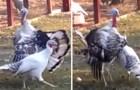 Een mannelijke kalkoen probeert een vrouwtje te versieren, maar... iets gaat er mis!