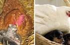 16 fotos mostram o incrível instinto maternal das galinhas, prontas para cuidar de qualquer animal