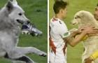 Un perro callejero se escabulle en el estadio e interrumpe un partido de fútbol: uno de los jugadores decide adoptarlo