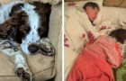 An elderly dog struggles to move: the family takes turns sleeping with him on the sofa to comfort him