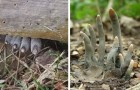 Un champignon inquiétant effraie les randonneurs : il sort du sol et ressemble aux doigts d'un homme