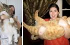 Gigantiska katter - 16 stora katter som inte verkar vara medvetna om sin storlek