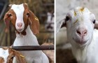 Una fattoria guadagna oltre 55.000 euro offrendo chiamate su Zoom con le sue capre durante la pandemia