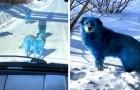 Een roedel honden met blauwe vacht gespot in Rusland: