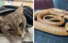 Een huiskat offert zijn leven op om twee kinderen te beschermen tegen de dodelijke beet van een slang